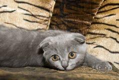 Small gray cat Stock Photos