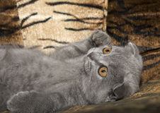 Small gray cat Stock Photo