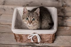 Small gray cat sitting in a basket Royalty Free Stock Image