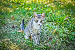 Small gray cat very sweet and shy Stock Photography