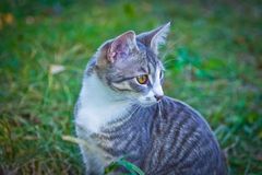 Small gray cat very sweet and shy Royalty Free Stock Photography