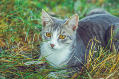 Small gray cat very sweet and shy Royalty Free Stock Images