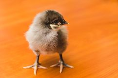 Small gray chicken on a wooden surface stock photo