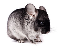 Small gray chinchilla on white background Royalty Free Stock Photography