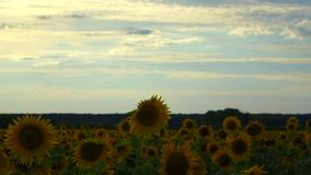 Small gray clouds float above the field of sunflowers. A weak wind shakes the sunflowers a little. The sun rarely breaks through t stock footage