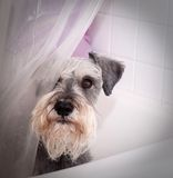 Small gray dog in bath tub Royalty Free Stock Image
