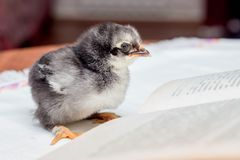 A small gray fluffy chicken near an open book. Teaching to read. royalty free stock photos