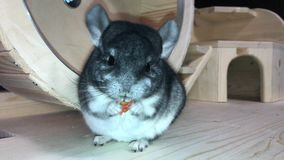 Small gray fluffy chinchilla stock video