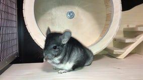 Small gray fluffy chinchilla stock video