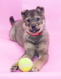 Small gray fluffy puppy paws holds ball Stock Photos