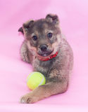 Small gray fluffy puppy protects ball Stock Image