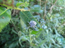 Small gray furry beetle on leaf in Swaziland Royalty Free Stock Images