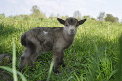 Small gray goat grazing in the meadow. Royalty Free Stock Photo