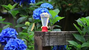 Humming bird flying to feeder in front of hydrangeas