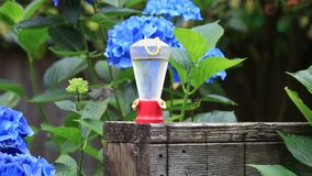 Slow motion humming bird drinking from feeder. Small gray and green hummingbird flying to red feeder and drinking nectar stock footage