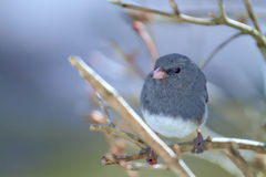 Small Gray Junco Bird - perched on Branches Misty Morning Stock Photography