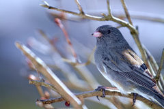 Small Gray Junco Bird - perched on Branches Misty Morning Royalty Free Stock Images
