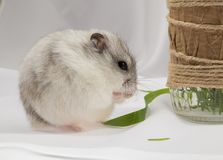 Small gray jungar hamster with a blade of grass in the paws. Small gray jungar hamster on the table with a blade of grass in the paws royalty free stock photo