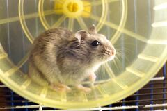 Free Small Gray Jungar Hamster Rat In Yellow Home Cage Royalty Free Stock Images - 194731309