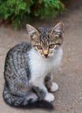 Small gray kitten Stock Photos
