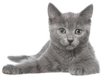 Small gray kitten lay isolated