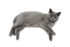 Small gray kitten lies on a white background Stock Images
