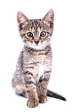 Small gray kitten look at camera isolated on white background Royalty Free Stock Image