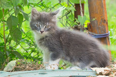 A small gray kitten playing in the grass with an old wooden fenc Stock Photos