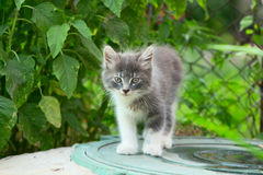 A small gray kitten playing in the grass with an old wooden fenc Stock Photo