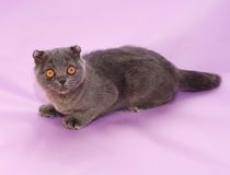 Small gray kitten Scottish Fold lies Royalty Free Stock Photo