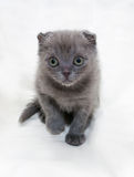 Small gray kitten Scottish Fold stands on gray Stock Images