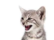 Small gray kitten Stock Images