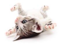 Small gray kitten. Small gray kitten on white background royalty free stock photo