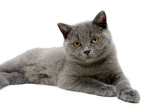 Small gray kitten on a white background Royalty Free Stock Photos