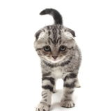 Small gray lop-eared kitten isolated on white background Royalty Free Stock Images