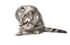 Small gray lop-eared kitten isolated on white background Royalty Free Stock Photo