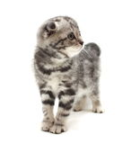 Small gray lop-eared kitten isolated on white background Royalty Free Stock Image