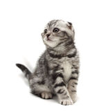 Small gray lop-eared kitten isolated on white background Royalty Free Stock Photos