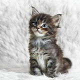 Small gray maine coon kitten on white background fur Royalty Free Stock Images