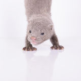 Small gray mink Royalty Free Stock Images