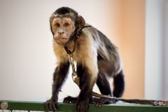 The gray monkey sits on a cage. A small gray monkey sits on a cage Royalty Free Stock Photos