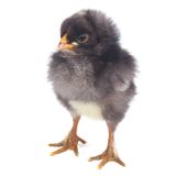Small gray of pileated chicken isolated on white Royalty Free Stock Image
