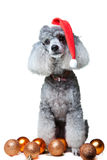 Small gray poodle with christmas decoration Stock Photos
