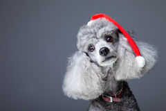 Small gray poodle with red christmas cap Stock Photos