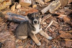 A Small Gray Puppy With Blue Eyes Plays In The Yard Of A Village House, Strewn With Sawdust. And Looks At The Camera stock photography