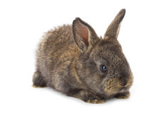 Small gray rabbit Stock Photos
