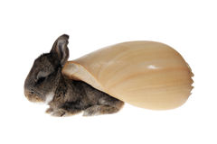 Small gray rabbit with shells on their backs Stock Photography