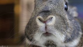 Small gray rabbit twitches nose closeup. Cute animals, pet, rabbit stock video