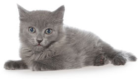 Small gray shorthair kitten lie Royalty Free Stock Photo