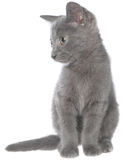Small gray shorthair kitten sitting Stock Photography
